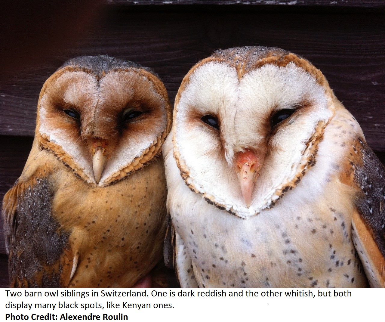 The barn owls ambassadors of peace swara magazine east africa news buycottarizona